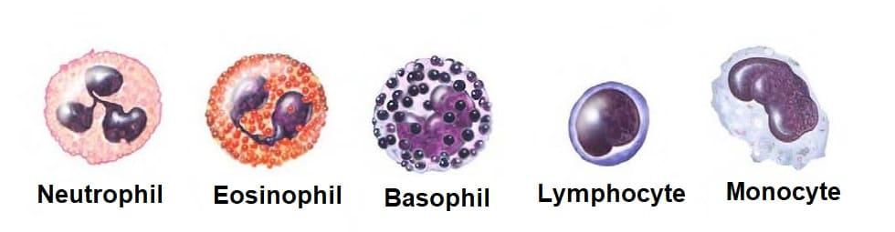 Types_of_White_Blood_Cells